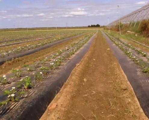 Plantation de fraisiers en fleur
