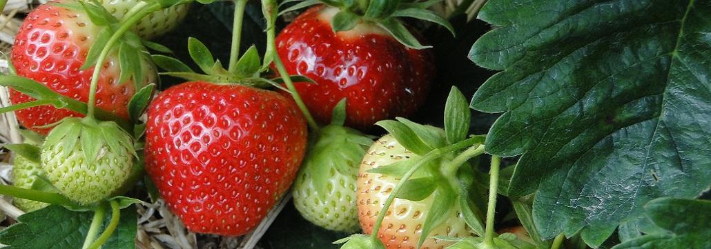 Bienvenue à la cueillette de fraises