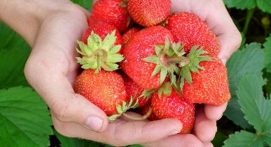 Découvrir la cueillette de fraises