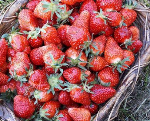 Des fraises goûteuses