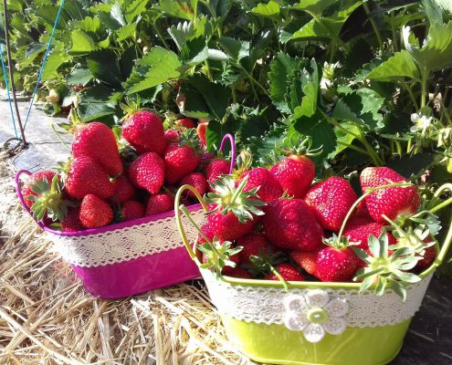 De beaux paniers de fraises
