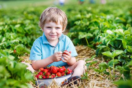 Culture des fraises saison plantation et vari t s - Comment cueillir des fraises ...
