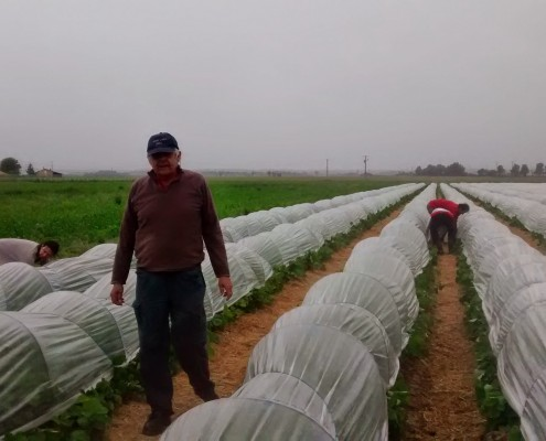 Plantation fraises sous la pluie