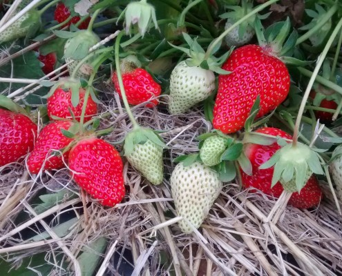 Plant de fraises Cueillette Lavernose