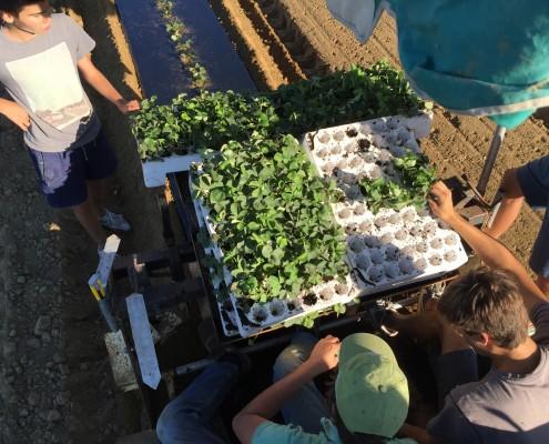 Machine pour planter les fraises