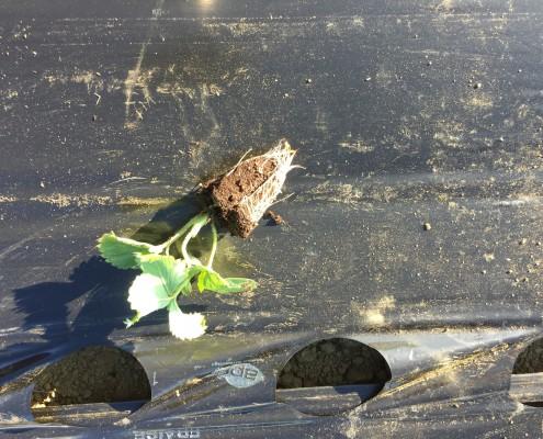 Plant fraisier en motte