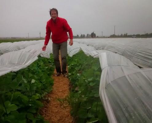Plantation fraise sous la pluie