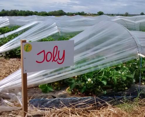Variété fraises Joly