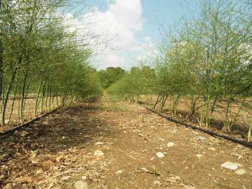 Plantation asperges