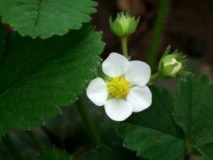 Fraisier en fleur