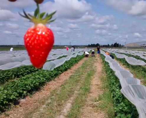 Cueillette fraises Lavernose