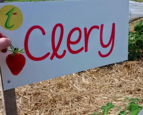 Variété fraises Clery