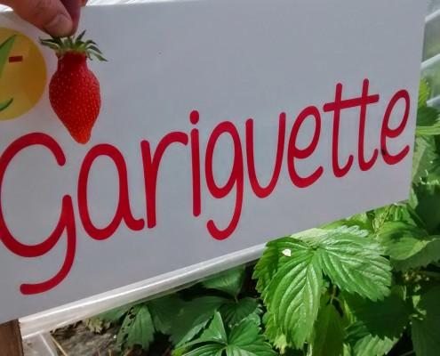 Variété fraises Gariguette